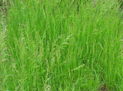 Популярная газонная трава - мятлик луговой