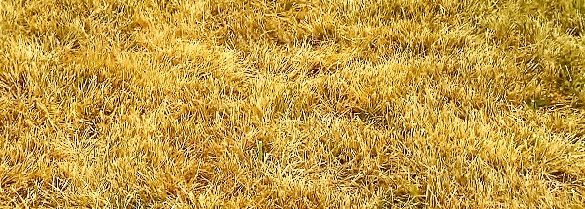 Газон желтеет после стрижки