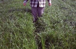 рулонный газон из райграса